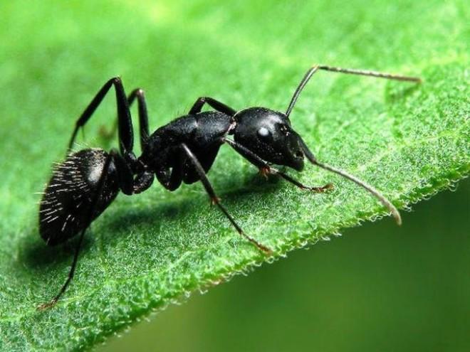 Черный садовый муравей