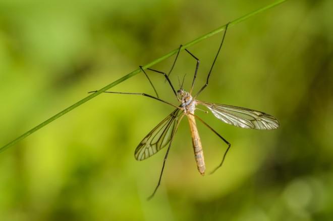 Комар долгоножка на растении