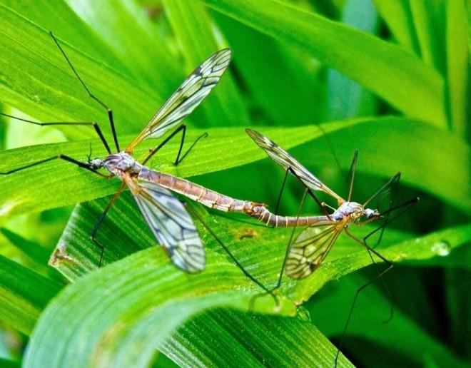Комар долгоножка спариваются