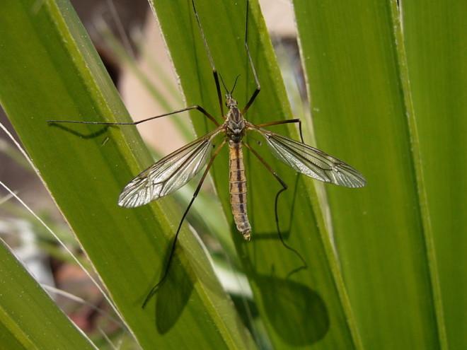 Комар на осоке