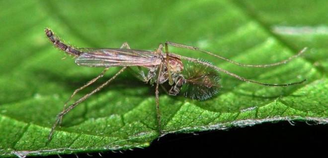 Комар звонец на листочке