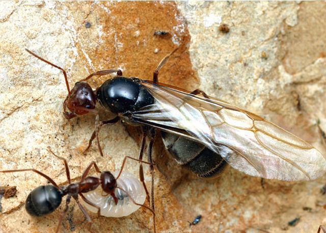 Королева муравьев