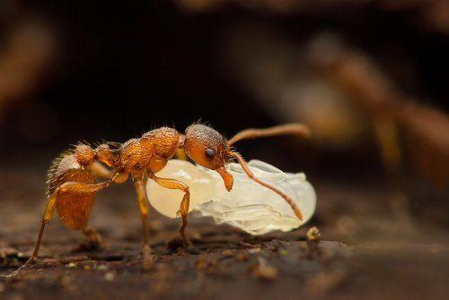 Куколка муровья