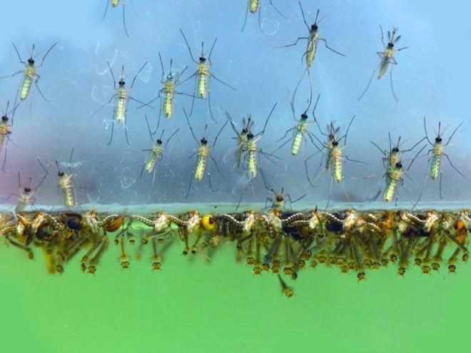 Куколки комара