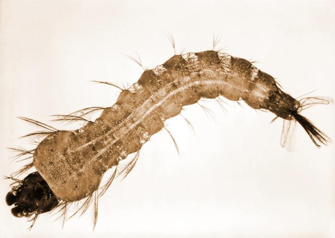 Личинка комара на фото