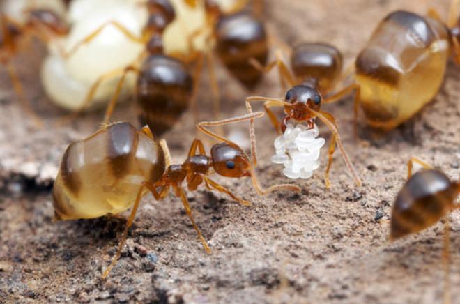 Медовые мурвьй