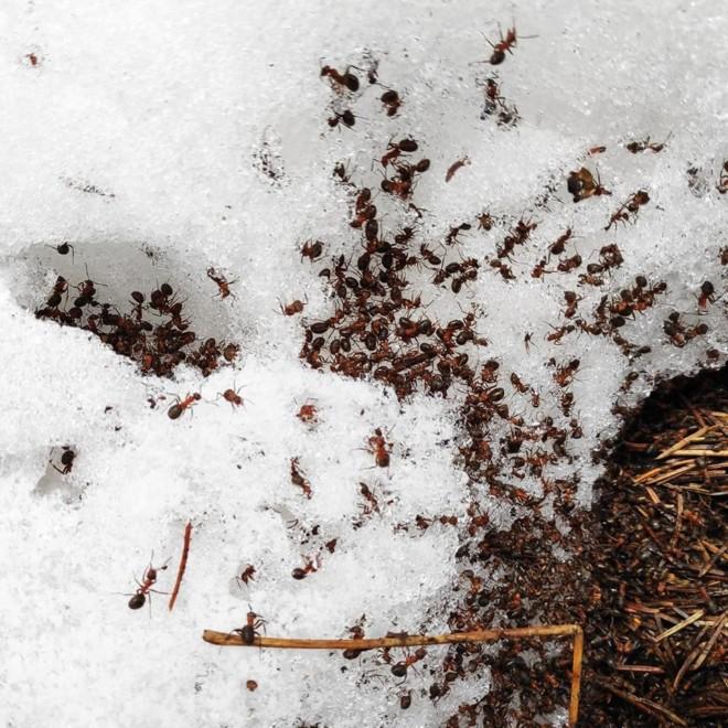 Муравьи и снег