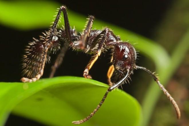 Тропический муравей