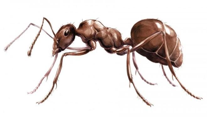 Фото муравья