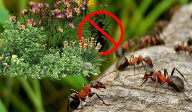 Какие растения боятся муравьи