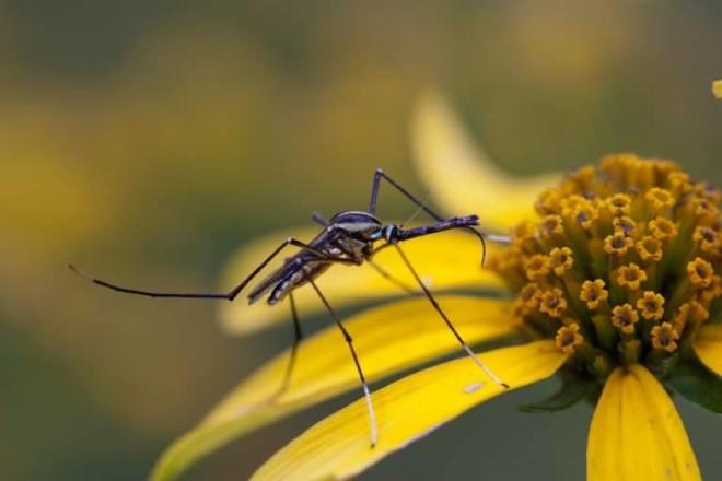 Комар на цветке