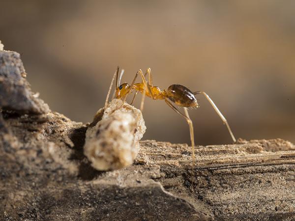 Сумасшедшие муравьи
