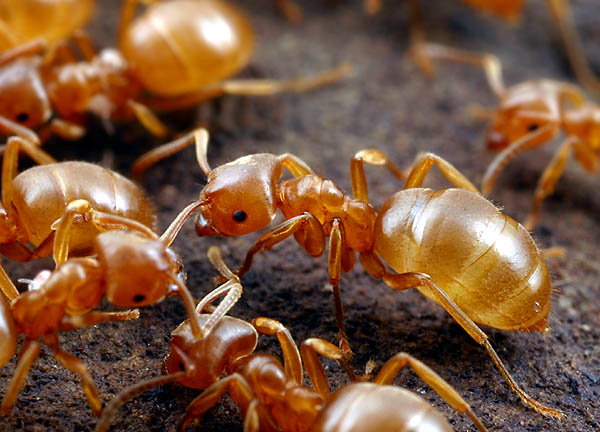 Желтые муравьи фото