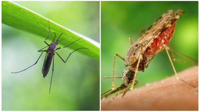 Чем питаются комары