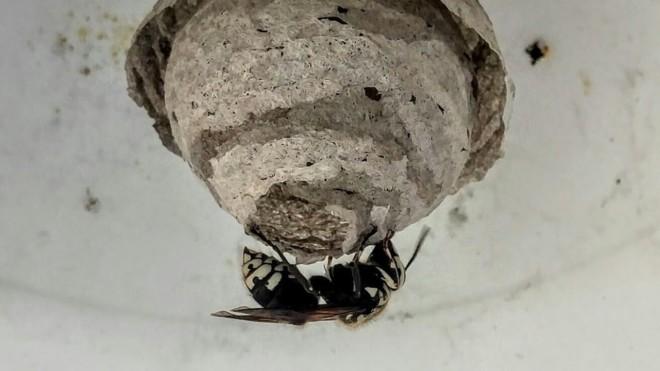 Черный шершень гнездо