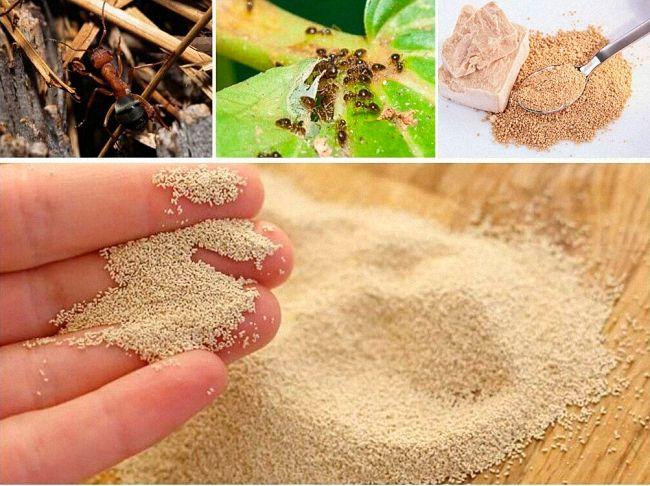 Дрожжи от муравьев