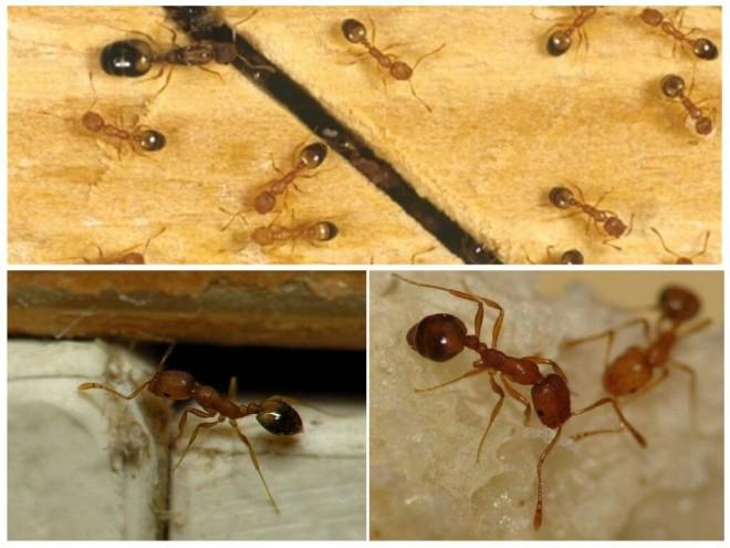 Фараоновы муравьи подборка