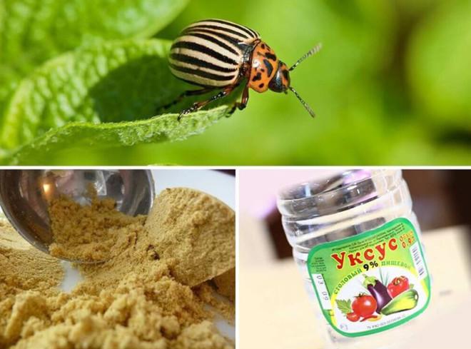 Горчица и укус от колорадского жука