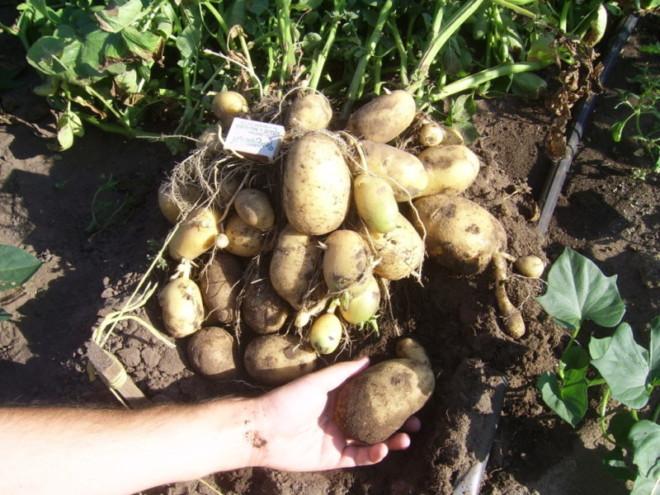 Картошка клубни