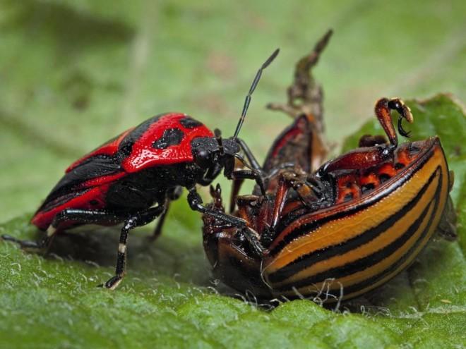 Клоп атакует колорадского жука