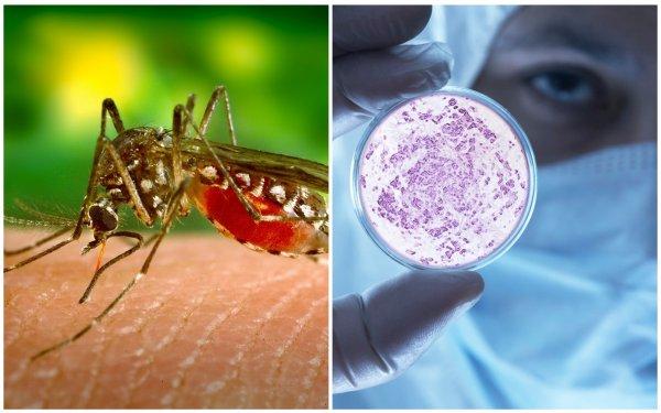 Комар и вирус Денге