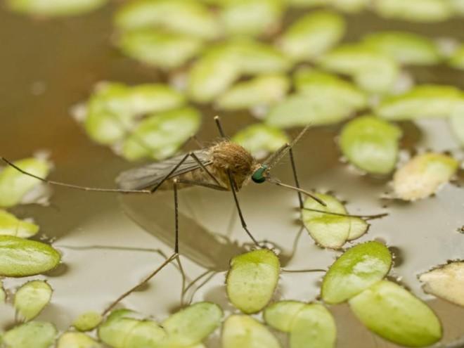 Комар на болоте