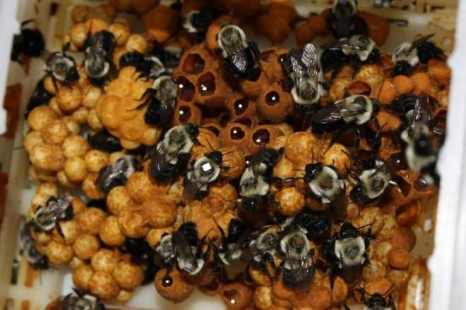 Мед шмеля