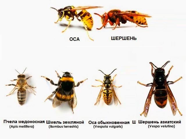 Отличия шмеля осы и шершня