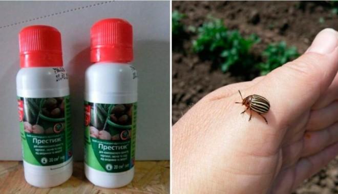 Престиж от колорадского жука фото