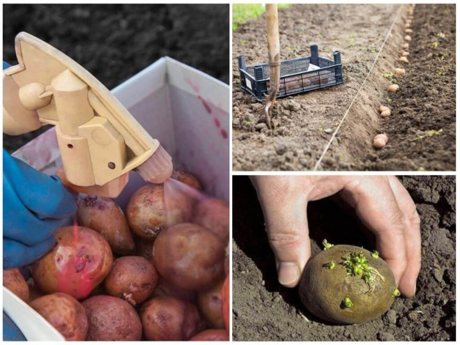 Престиж от жука обработка картофеля