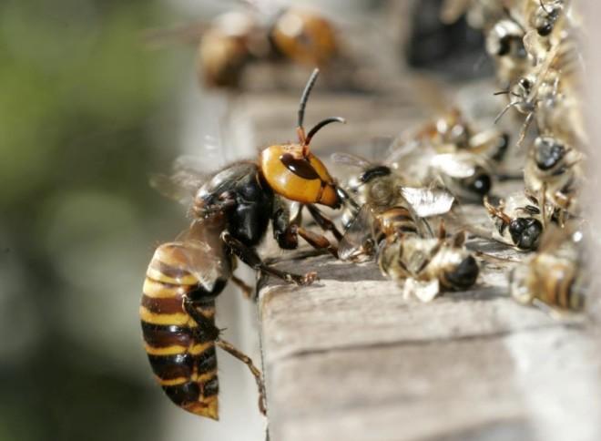 Шершень ест пчел