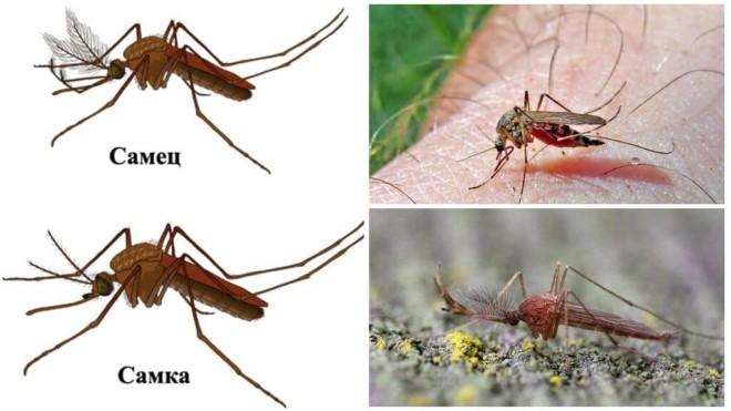 Самка и самец комара