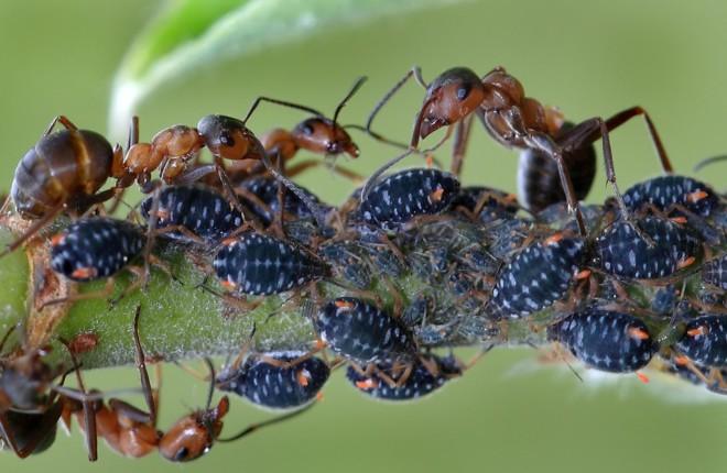 Симбиоз Тли и муравья