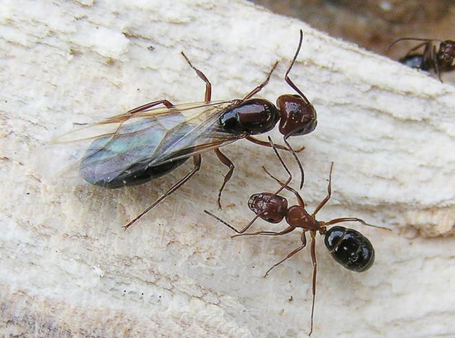Самка муравья