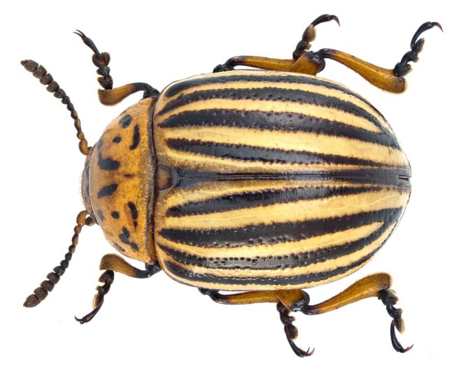 Колорадский жук на фото