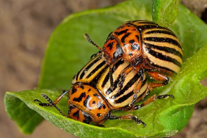 Колорадский жук на листочке