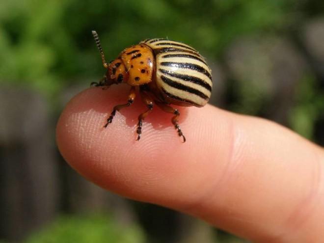 Колорадский жук на пальце