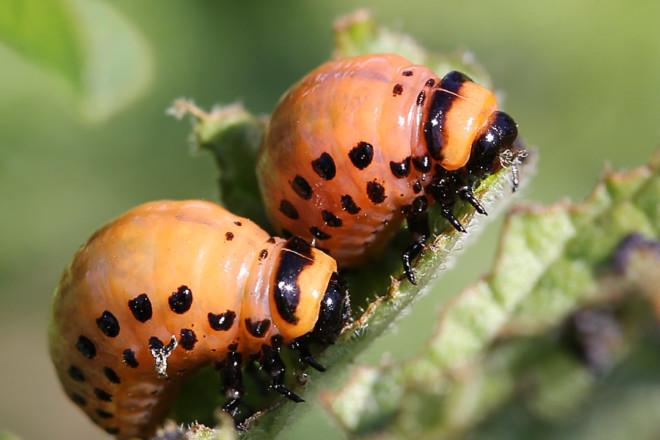 личинка колорадского жука