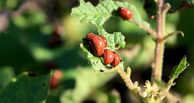 Личинки колорадского жука едят кортошку