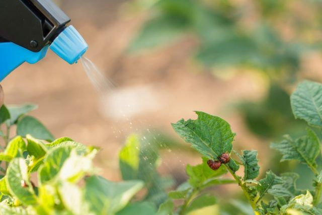 Опрыскивания личинок колорадского жука