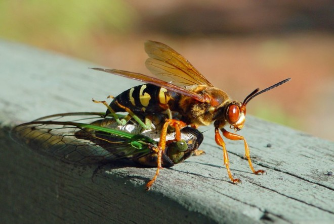 Оса и насекомое