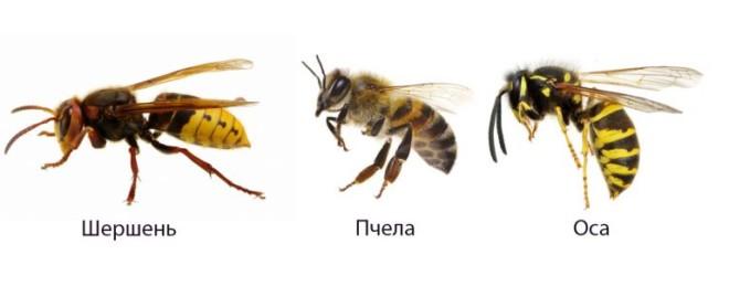 Оса от пчела на фото