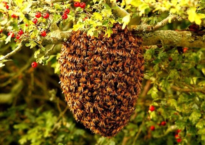Пчелы гнездо