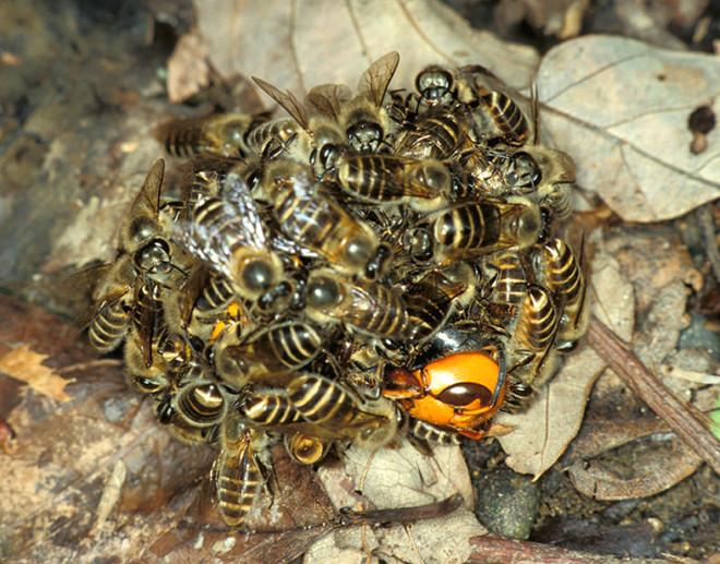 Пчелы облипили шершня