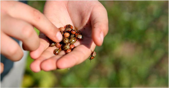Ручной сбор личинок колорадского жука