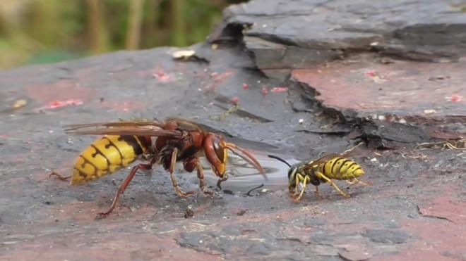 Шершень против осы