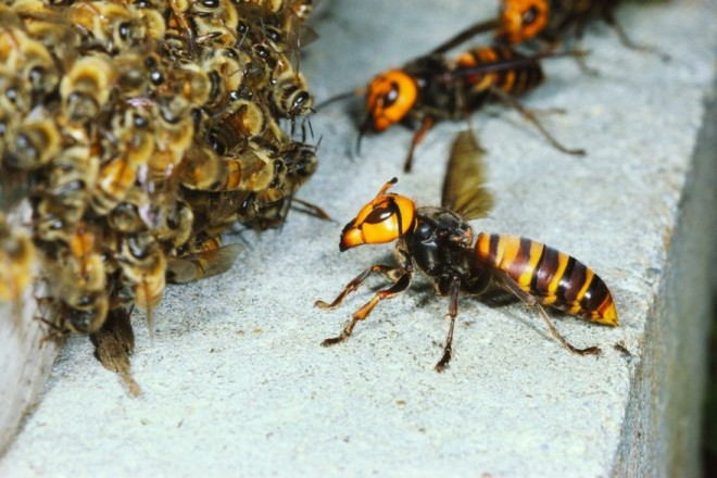 Шершни и пчелы