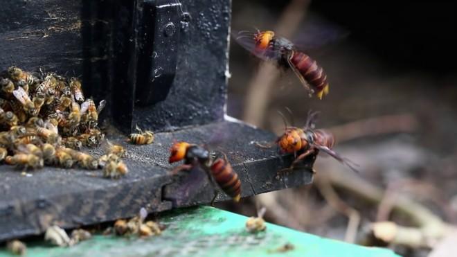 Шешрни нападают на пчел