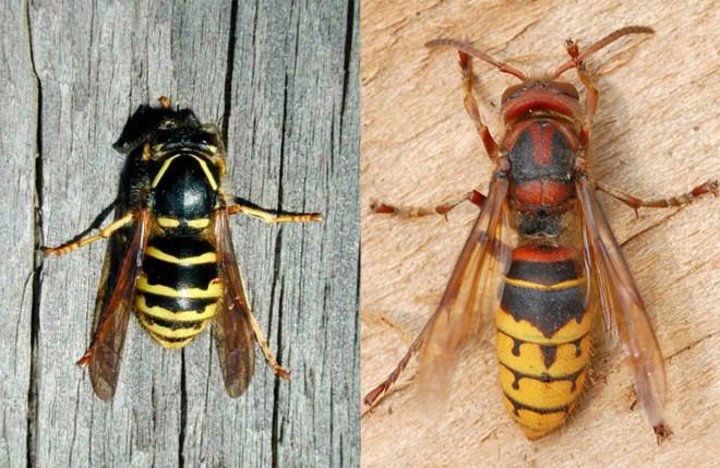 Сравнения шершня и осы