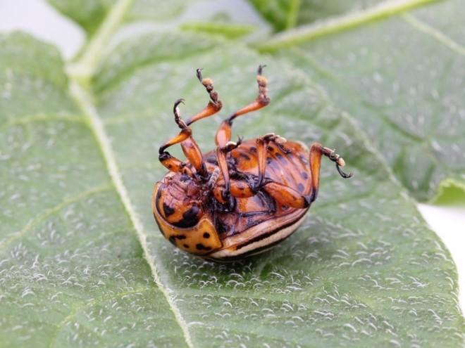 Колорадский жук на спине